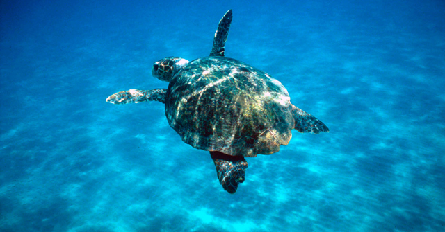 The Court finds that Greece has failed to protect the sea turtle Caretta caretta